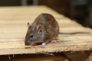 Mice Infestation, Pest Control in Richmond, TW9, TW10. Call Now 020 8166 9746