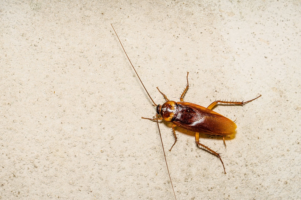 Cockroach Control, Pest Control in Richmond, TW9, TW10. Call Now 020 8166 9746